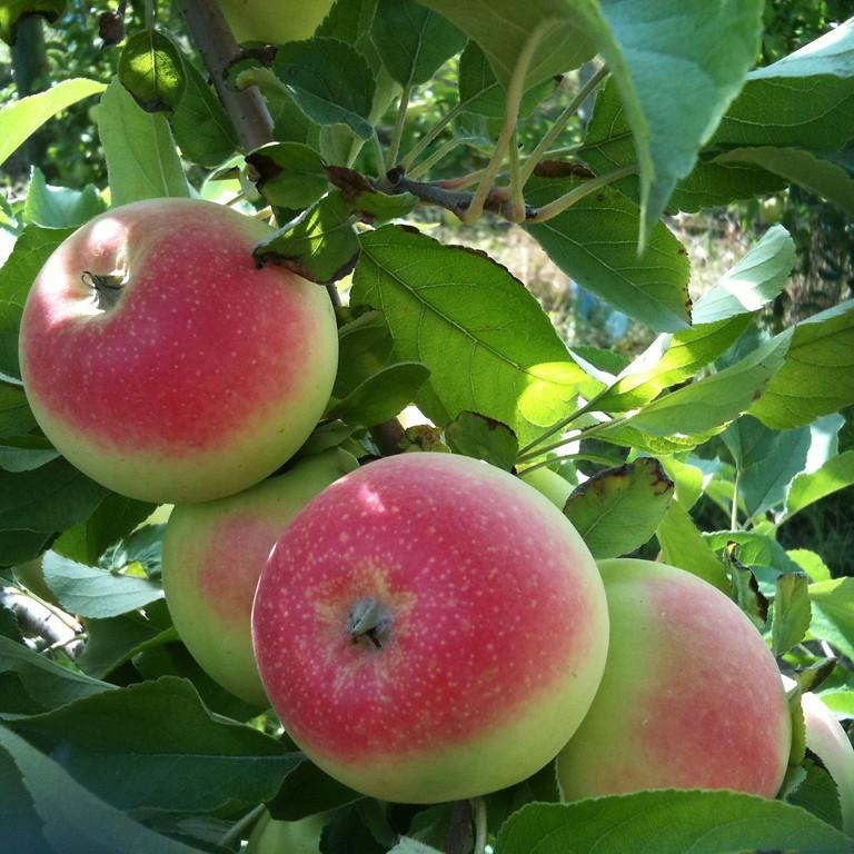 Début de récolte des pommes Gala et Gaïa