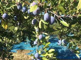 Photo de prunes sur l'arbre.JPG