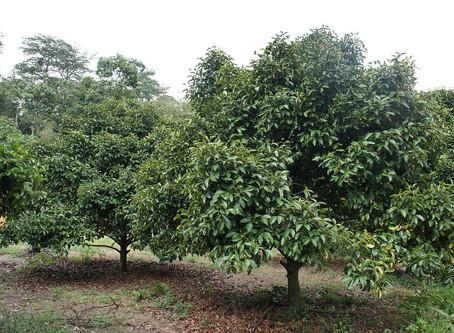 El árbol de mangostán