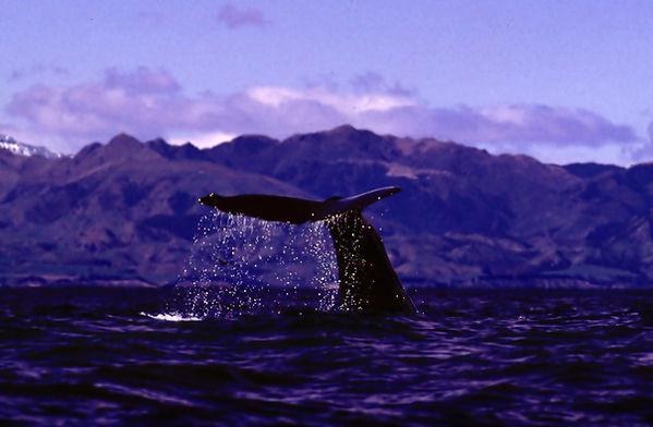 Neuseeland Blauwal 1993