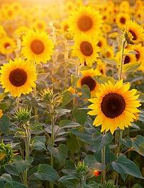 sunflower-3550693__480_bearbeitet.jpg