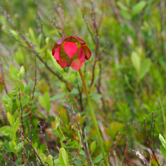 Terrestrial fun - Side-saddle flower (Sarracenia purpurea)
