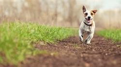 Running dog at summer. Jumping fun and happy pet walking outdoors._edited