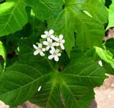 chaya-in-blossom.jpg