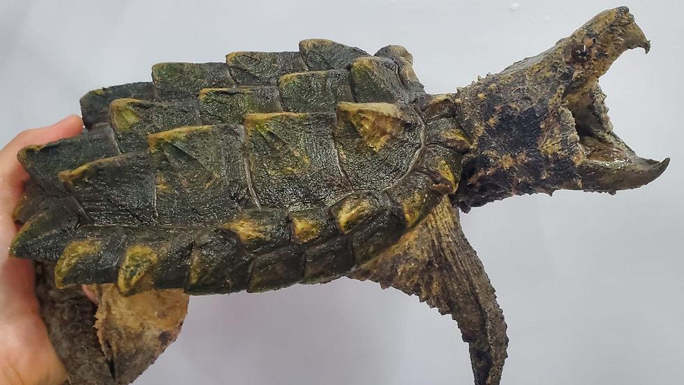 凸背鱷龜 小鋸鱷