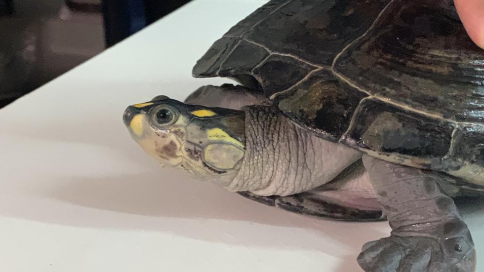 黃頭側頸龜 細粒墨