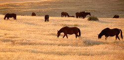 Namibia Wild Horses in good times