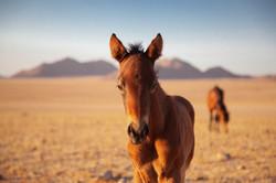 Namibia Wild Horses foal