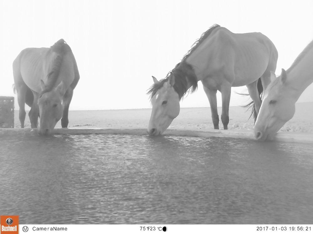 Namibia Wild Horses cameratrap