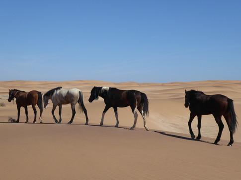Loose Horses in Dunes, Namib Desert Safari, MLA