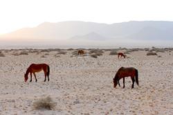 Namibia Wild Horses, Zohra group