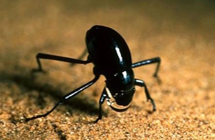 Darkling beetle fog basking Namib Desert