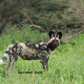 Lycaon pictus  Africa's Painted Dog