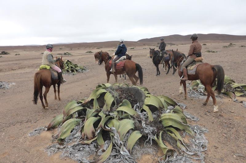 Damaraland riding safari encountering giant welwitschia