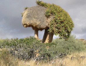 Sociable in the Namib