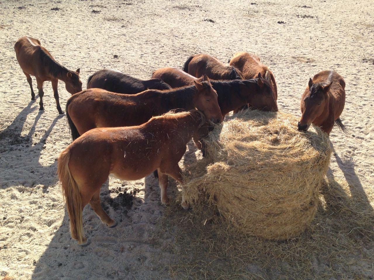 Feeding the Wild Horses