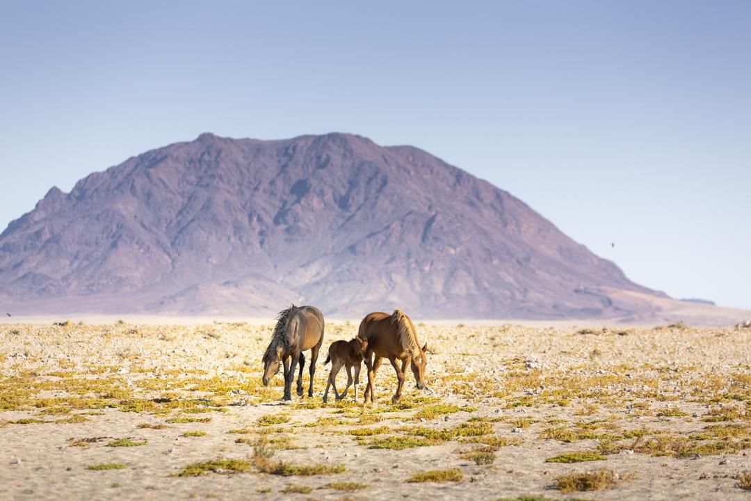 Namibia Wild Horse stallion herding