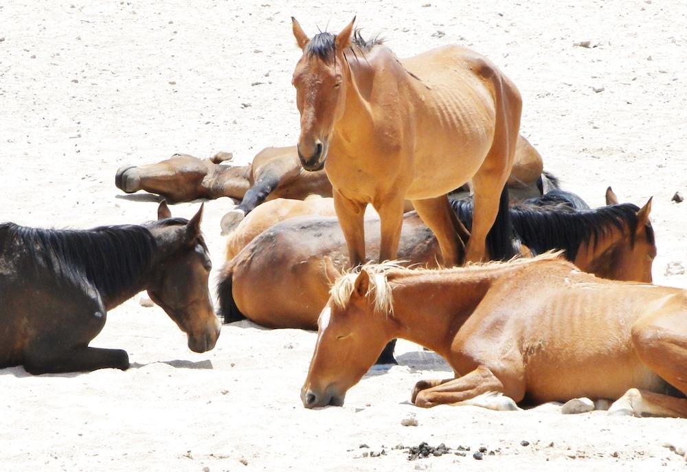 Namibia Wild Horses, resting