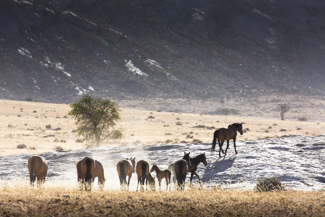 Namibia Wild Horses