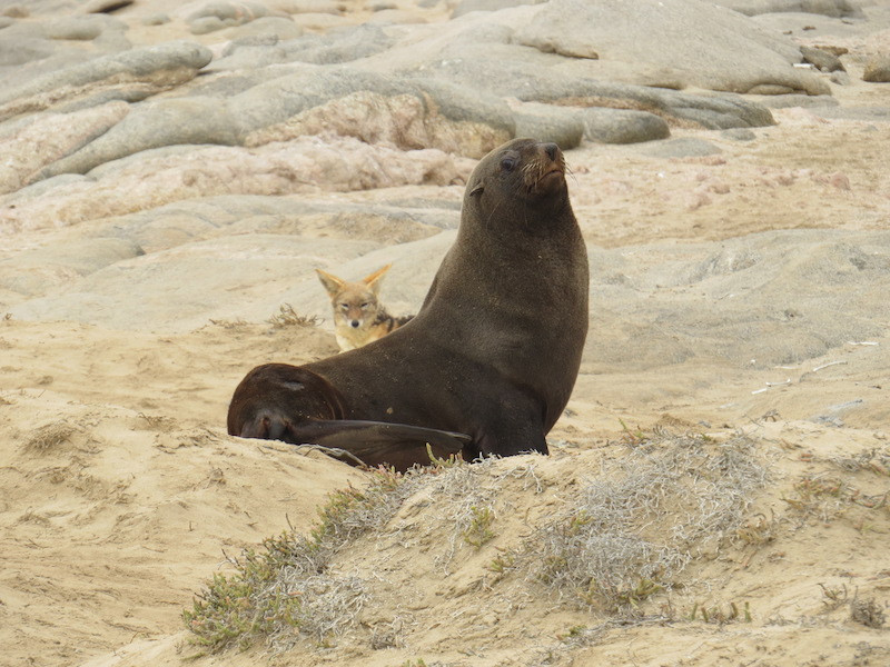 Cape Fur Seal and black backed jackal