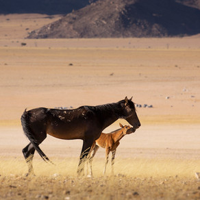 Is this their final hour?  The Namib's Breeding Bottleneck