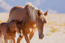 Namibia Wild Horses, mare and foal