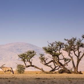 Acacia erioloba - Africa's desert survivor
