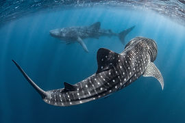 whale shark, sharks, two whale sharks, double whale sharks, ocean, unerwater
