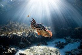 cuttlefish, underwater, ocean, interesting