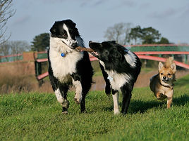 border-collie-1167926_1920.jpg