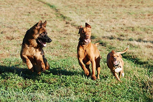 schafer-dog-4312716_1920.jpg