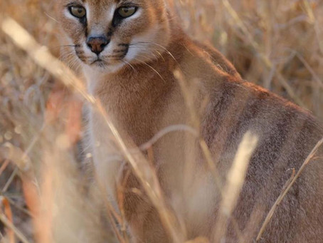 A closer look at the Caracal