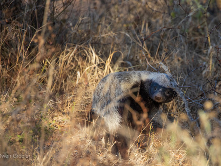 5 Fun facts about the honey badger