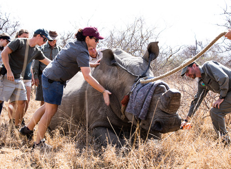 Successful Endangered Rhino Relocation