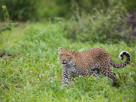Finding the elusive leopard
