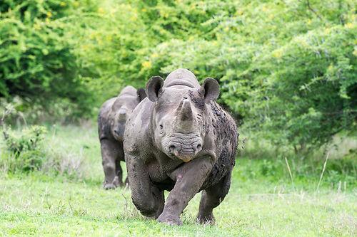 Sable Tours Rhinos.jpg