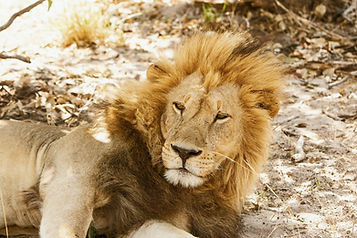 Sable Tours Guided Adventures Lion.jpg