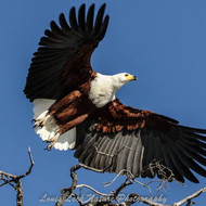 SWT Fish Eagle