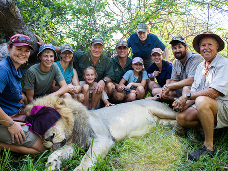 Large male lion successfully re-collared