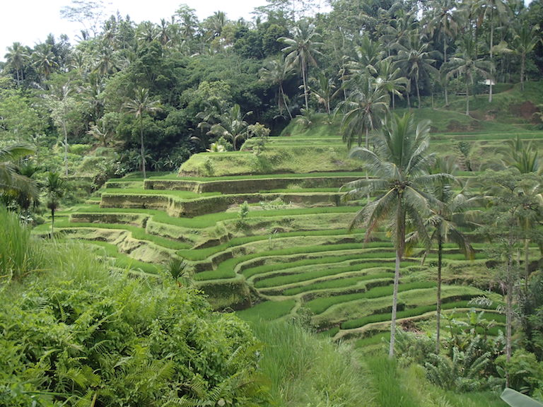 Lotus Village - Bali 2016 - Rice Field