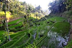 Lotus Village - Bali 2016 - Rice Field