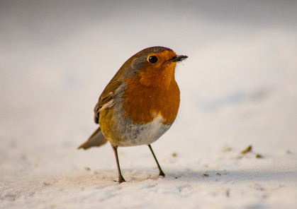 Cairngorms Winter robin