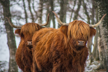 Cairngorms Coos