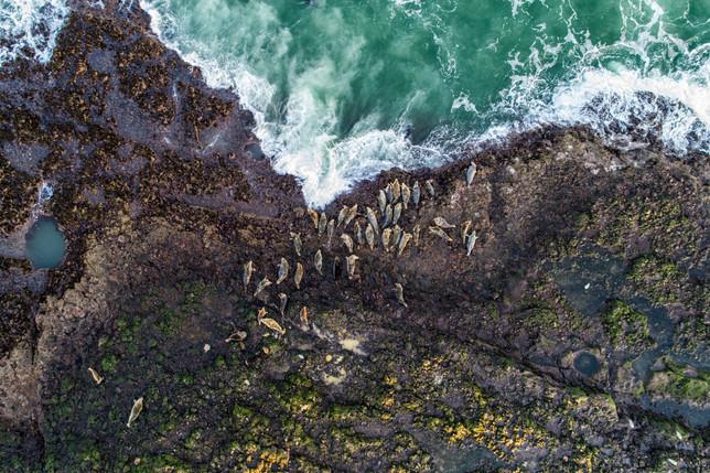 Grey Seals Catterline Bay