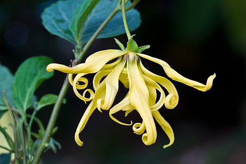 YLANG YLANG Essential Oil - 20ml