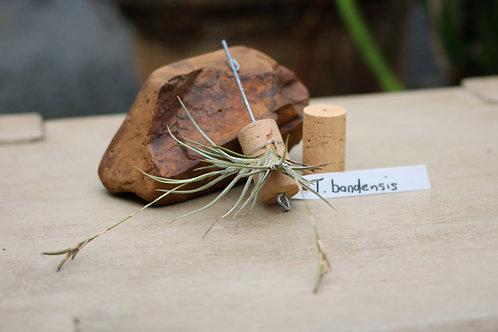 T.bandensis
