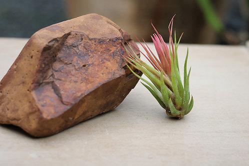 T. ionantha scaposa (L)
