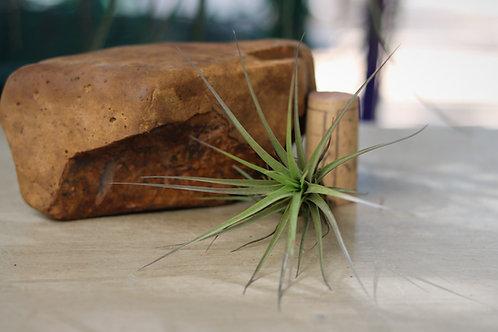 "T.tenuifolia ""Mixed"""
