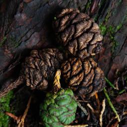 Sequoia cones