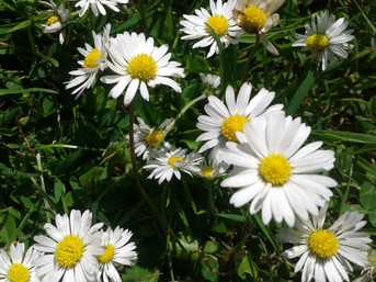 More about the humble daisy